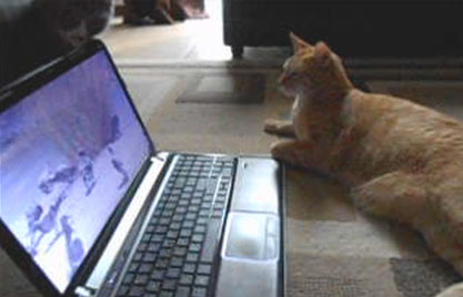 Cats Holland (grey) and Kyo (orange) watch a movie together!